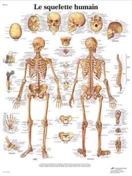 Anatomical board, human skeleton