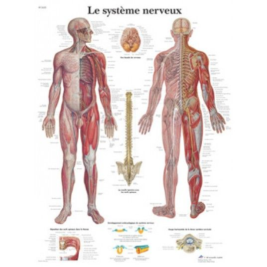 "Chart ""the nervous system"""